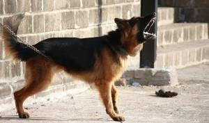 german-shepherd-166972_960_720